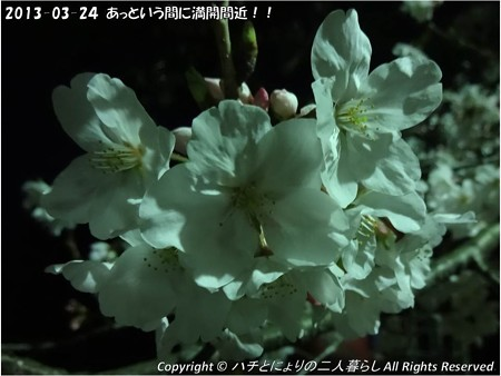 2013-03-24あっという間に満開間近!! (2)