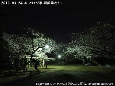 2013-03-24あっという間に満開間近!! (4)