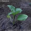 Photos: 2013-04-29苗植えました (2)