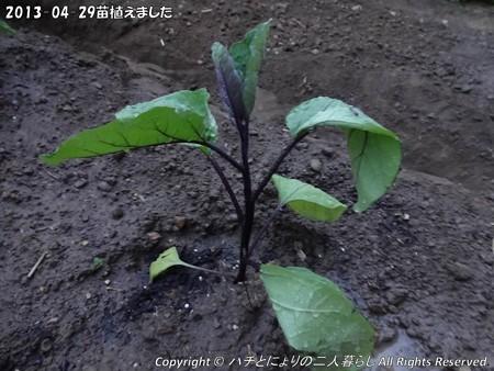 2013-04-29苗植えました (3)