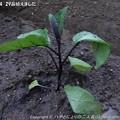Photos: 2013-04-29苗植えました (3)