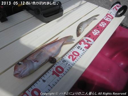 2013-05-12赤い魚が釣れました♪ (4)