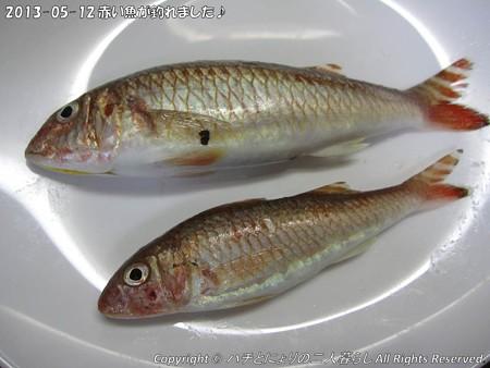 2013-05-12赤い魚が釣れました♪ (5)