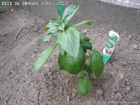 2013-06-08初収穫-ハチとにょり農園- (3)