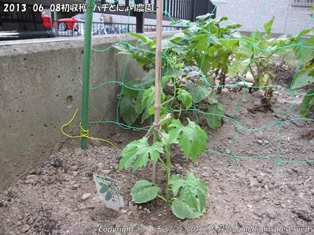 2013-06-08初収穫-ハチとにょり農園- (6)