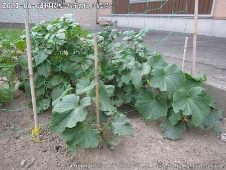 2013-06-08初収穫-ハチとにょり農園- (7)