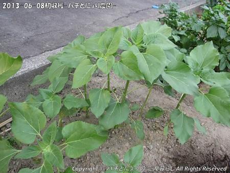 2013-06-08初収穫-ハチとにょり農園- (9)