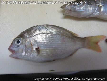 2013年7月14日おめでたい魚が釣れました!-カヤックフィッシング- (6)