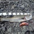 Photos: 2013年8月4日美味しいお魚が釣れました♪が・・・ (2)
