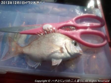 2013年12月1日イワシ大漁!! (4)