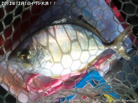2013年12月1日イワシ大漁!! (7)