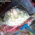 Photos: 2013年12月1日イワシ大漁!! (7)