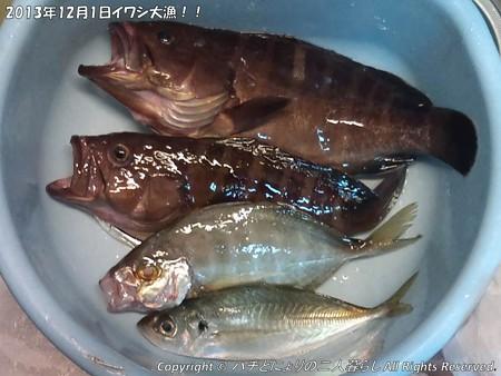2013年12月1日イワシ大漁!! (9)