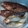 Photos: 2013年12月1日イワシ大漁!! (9)