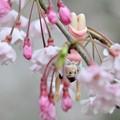 Photos: 0406-花見のフチ子さん-06