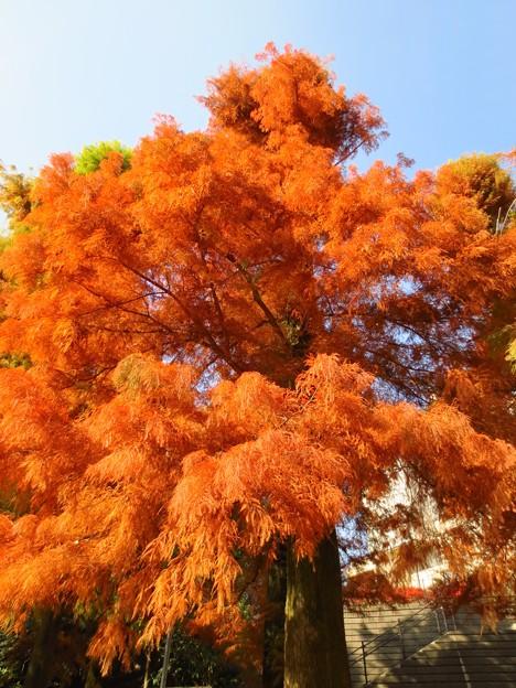 ふさふさの紅葉