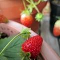 自宅のイチゴ
