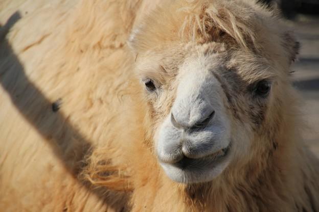 ふたこぶ駱駝「ニッ」