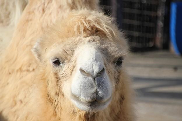 ふたこぶ駱駝「もきゅ」