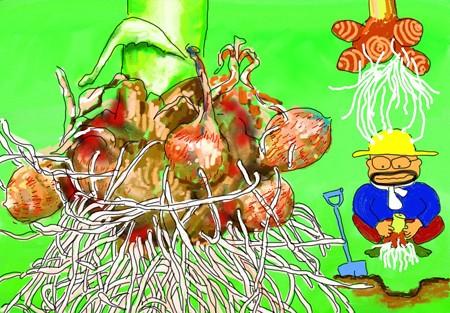 サトイモ掘り上げ