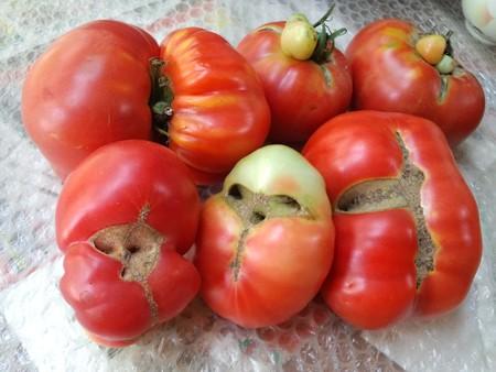 トマト生理障害果