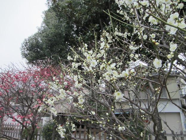 13.02.19. 亀戸天神社・梅7