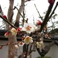 Photos: 13.03.04.西新井大師16白加賀梅