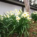 写真: 房咲水仙1