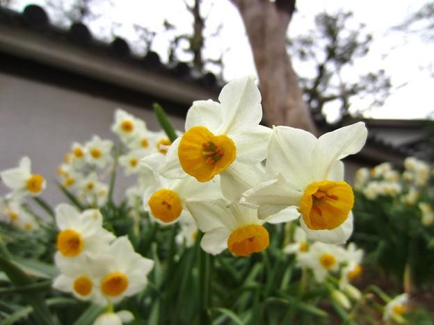 房咲水仙3