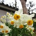 写真: 房咲水仙3