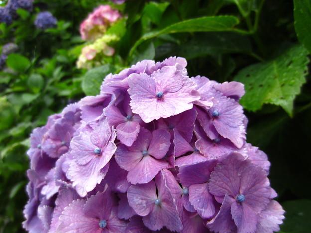 鎌倉 成就院 紫陽花7