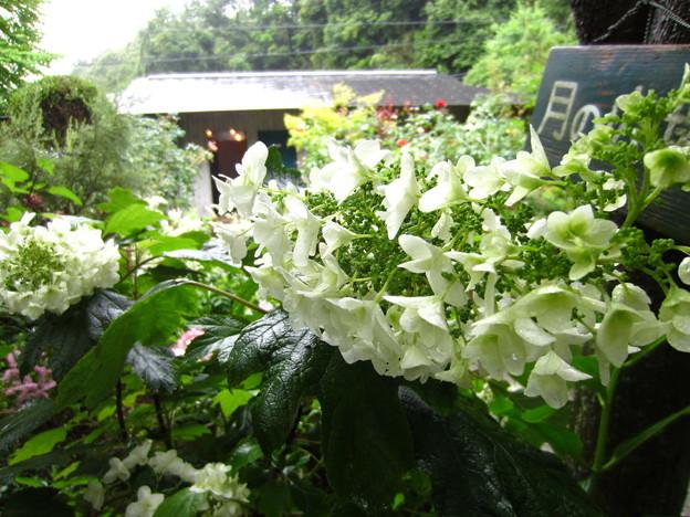 鎌倉 明月院・紫陽花1