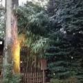 写真: 川越氷川神社 太田道灌手植の矢竹
