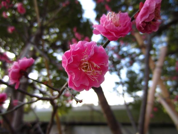 14.02.07.台東区立隅田公園 紅梅