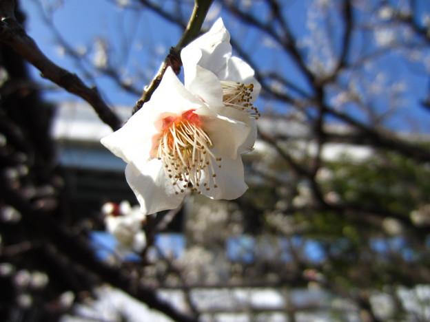 14.02.07.隅田川神社 白梅