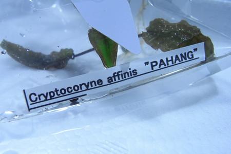 "Cryptocoryne affinis ""PAHANG"" 1"