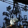 Photos: 木にとまったアヒル