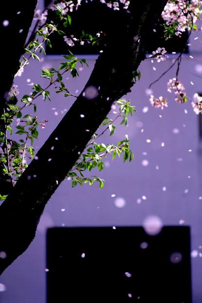 桜舞う午後に!