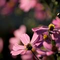 秋桜記念日