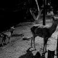 Photos: 夜の鹿