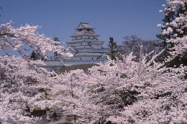 鶴ヶ城と桜(葺替前)