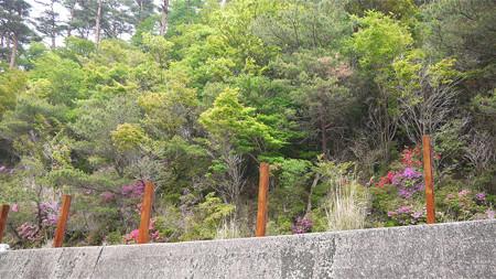 霧島新燃荘・新湯温泉付近(7)道路沿いにもミヤマキリシマが咲いている