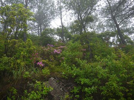 万年山~吉武台牧場から歩く(2)チラホラと見えるミヤマキリシマ