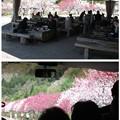 Photos: 花桃の里6