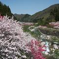 Photos: 花桃の里:月川9