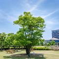 写真: この木なんの木立派な木