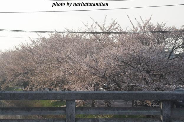 桜市が中止4