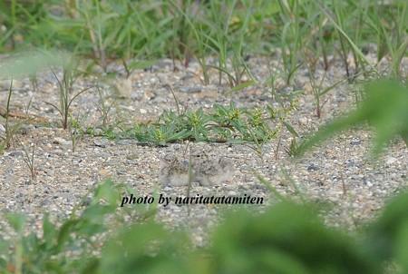 コアジサシのヒナ17