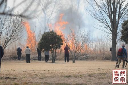渡良瀬のヨシ焼き20