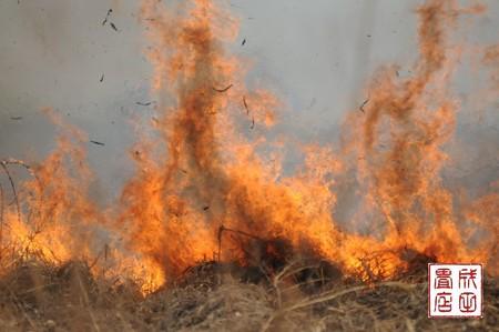 渡良瀬のヨシ焼き33
